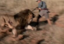 Photo of Video: Lion Charges and Almost Kills Two Hunters