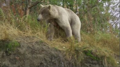 Photo of Video: Hunter Arrows Grizzly Bear Stalking His River Boat