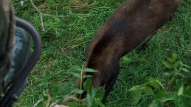 Photo of Video: Rare North Dakota Moose Walks Under Deer Hunter's Stand