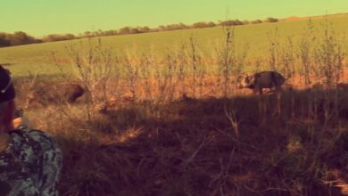 Photo of Video: Taking Down Close Range Hogs With a Pistol After the Rifle is Empty