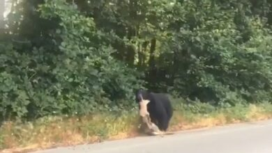 Photo of Video: Commuter Films Bear Dragging a Deer Down The Side of the Road