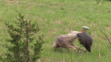 Photo of Video: Coyote Comes Out of Nowhere and Attacks Decoy