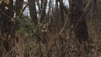 Photo of Video: Giant Whitetail Walks Up to Hunter Recovering Another Deer