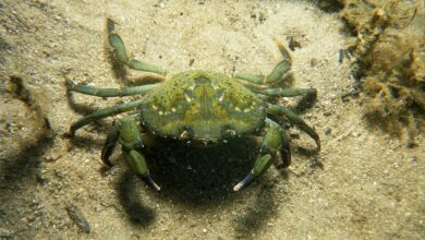 Photo of Angry Canadian Crabs Are Threatening Fragile US Ecosystems