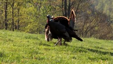 Photo of Video: Three Turkeys Down in 30 Seconds