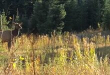 Photo of Video: Hunter Films Elk and Fox Playing Together in a Meadow
