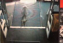 Photo of Video: Security Camera Captures Deer Running Into Michigan Best Buy