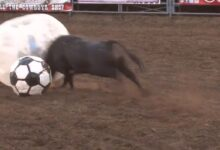 Photo of Video: Zorb Ball Bull Fighting is the Best Thing You Will See All Day