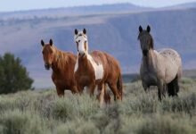 Photo of BLM Offering Up to $1000 to Anyone Who Adopts a Wild Horse or Burro