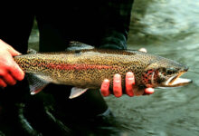 Photo of State Paying Anglers up to $1000 to Catch Trout