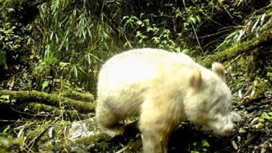 Photo of Rare Albino Giant Panda Spotted for the First Time Ever