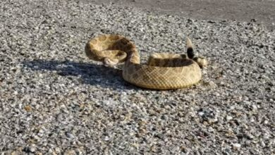Photo of Video: Wisecracking Biologist Talks a Rattlesnake Out of the Road
