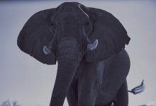 Photo of Zimbabwe selling hunting rights to shoot endangered elephants