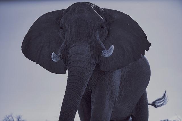 Photo of Zimbabwe selling hunting rights to shoot endangered elephants